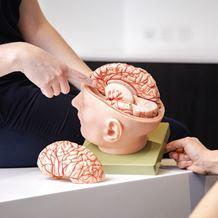 A neurologist uses a model of a human brain